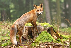 Fox standing on tree stump