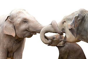 Elephants with trunks intertwined