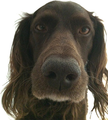 Cute brown dog nose